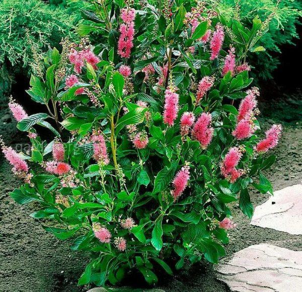 Какой кустарник посадить у дома, чтобы радовал цветением до осени?