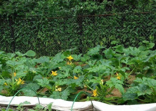 огорода с кабачковыми насаждениями