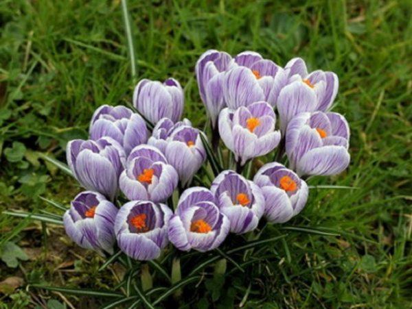 Какие ранние весенние цветы выбрать для вашего сада и как за ними ухаживать