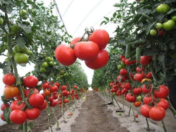 Помидоры для теплицы — лучшие сорта: общие принципы выращивания, видео