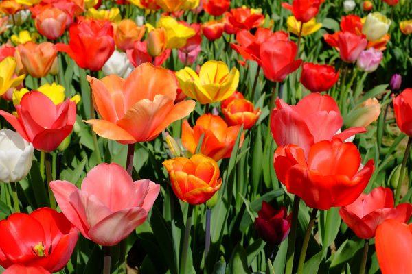 Весной взошли тюльпаны? Технология подкормки и полива предвесенних всходов тюльпанов