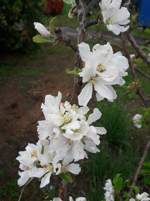 Весенняя обрезка формировка фруктового сада. Хочешь большой урожай делай так!