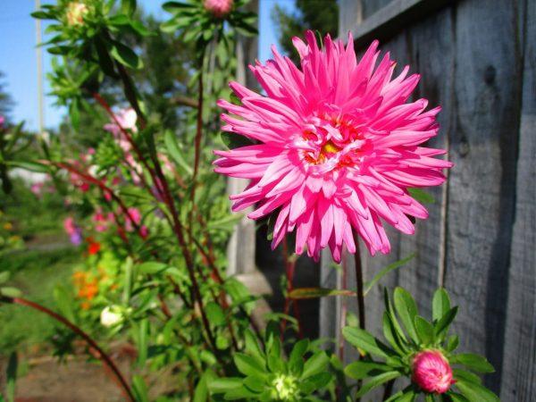 астра с ярким светло розовым соцветием 1