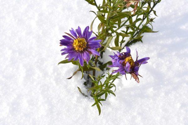 сорта астры цветут до поздней осени а иногда даже и до зимы