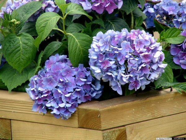 gortenzija vneshnij vid cvetka 1024x768 1
