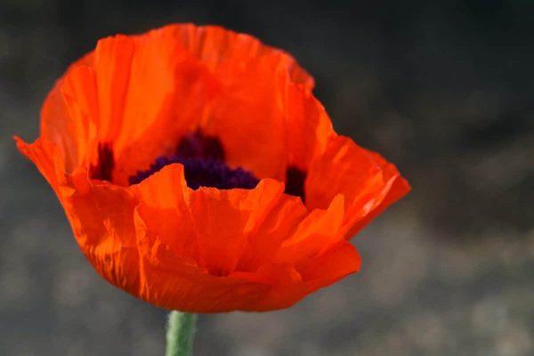 Флора, красный цветок, природа, макро, мака, Блум, Сад, цветок, Лепесток