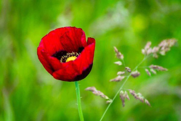 цветок, листья, природа, лето, флора, мака, Лепесток