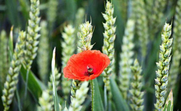 мака, лето, Спайк, флора, сельское хозяйство, природа, поля, зерновые