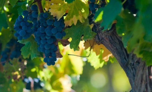 Соседи по участку или о том, с чем винограду рядом расти полезно