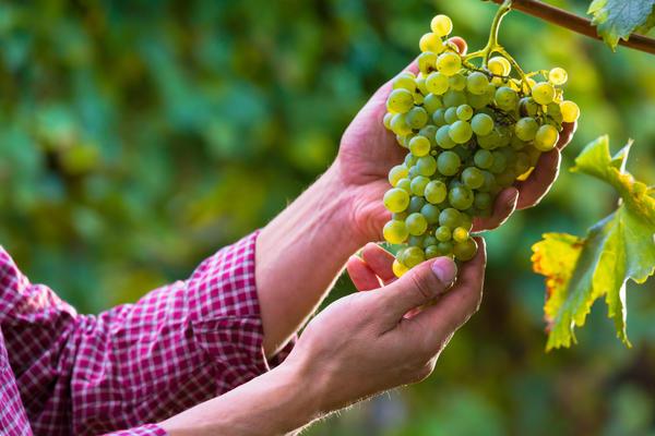 chto mozhno sazhat ryadom s vinogradom