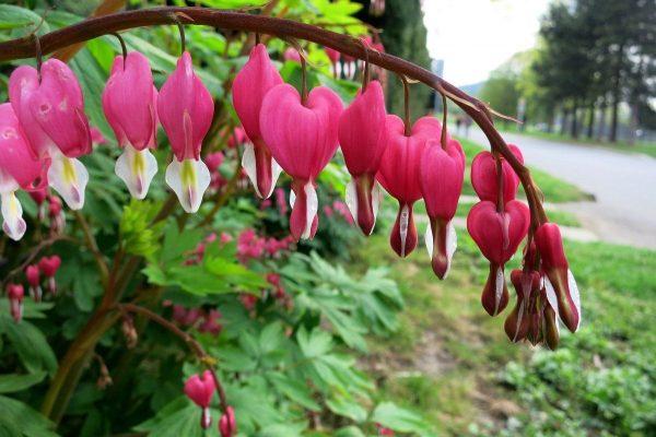 Многолетники для сада и дачи. Цветы июня — 15 потрясающих цветов