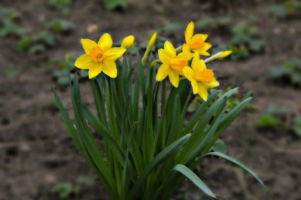 Как ухаживать за нарциссами после цветения? Самый полный перечень советов