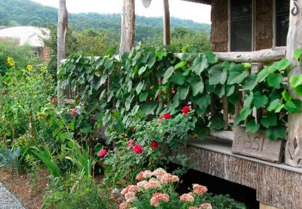 sosedi vinograda na gryadke.2