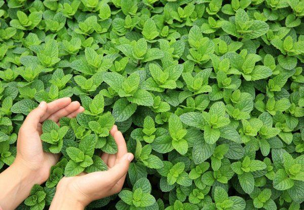 Выращиваем мяту. Как лучше поступать с мятной культурой в саду и дома?