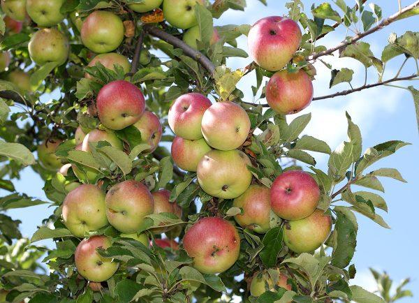1200px Apples on tree 2011 G1