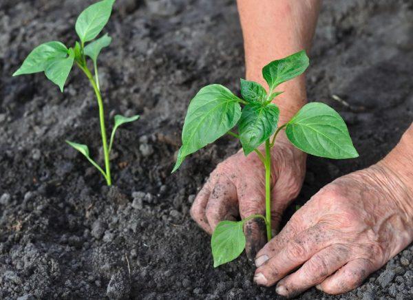 Уход за болгарским перцем в открытом грунте от посадки до урожая ...