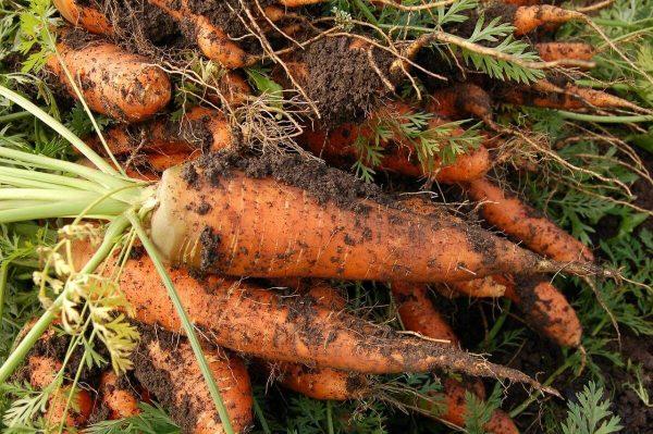Posadka morkovi