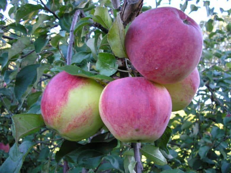 «Макинтош»: древний сорт яблок в наших садах. Описание сорта, характеристики, хранение