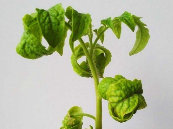 listya na verhushkah pomidor melchayut i skruchivayutsya