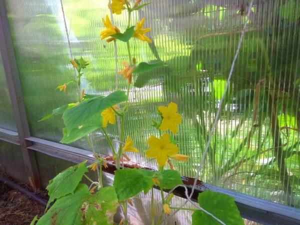 5 причин появления пустоцветов на огурцах: что делать в каждом случае