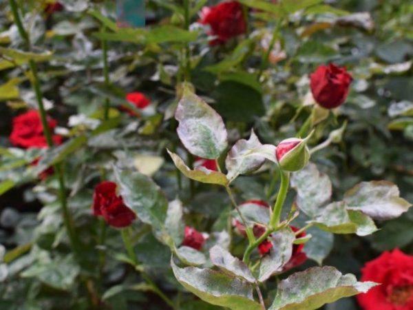 Болезни роз — описание с фотографиями, симптомы, способы лечения ...