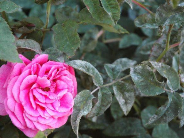 rozy v muchnistoy rose 800x600 1