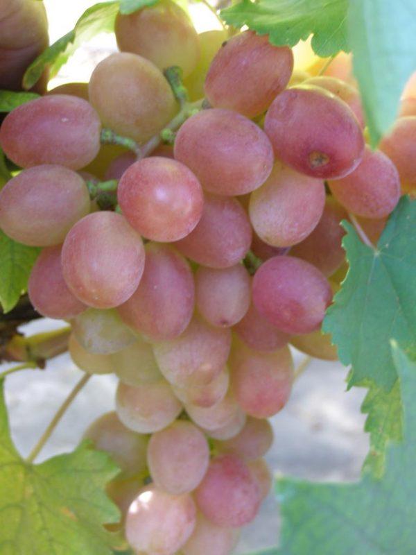 vinograd gurman lakomka