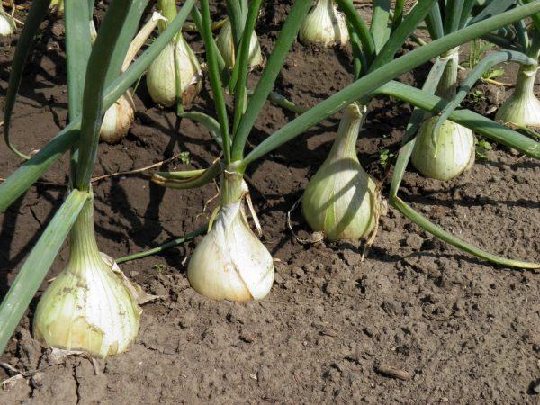 Как и когда садить озимый лук на даче? Сроки посадки лука под зиму