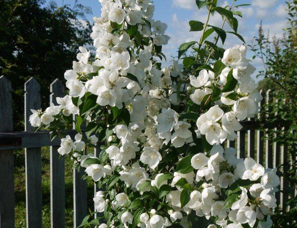 Жасмин садовый: посадка и уход в открытом грунте, как размножить