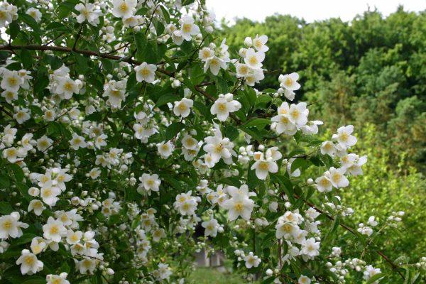 Жасмин садовый: посадка и уход фото в открытом грунте, размножение цветка