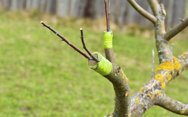 Прививка яблони в расщеп | Сад, Садовые деревья, Садовые идеи