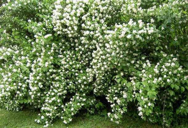 Кустарник жасмин: посадка и уход, описание сортов для дизайна сада