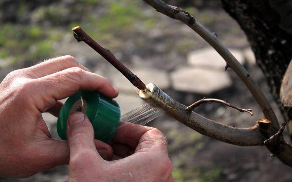 Как правильно привить яблоню осенью | В саду (Огород.ru)
