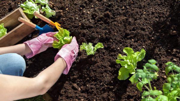 Работы в огороде в мае - Венская дача