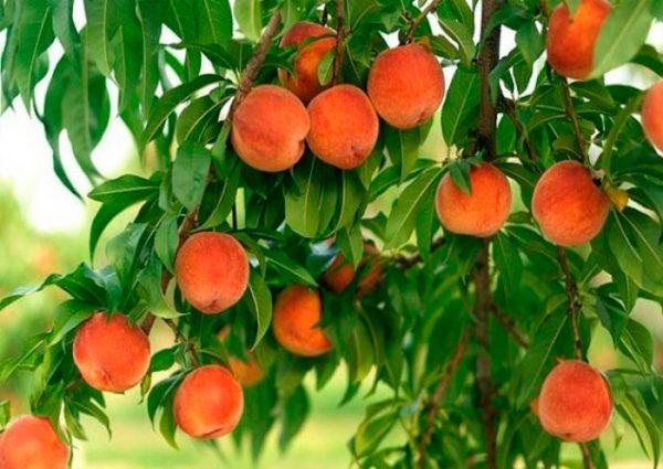 Как сделать персики большими и сладкими? Полезные советы