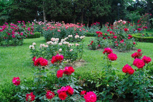 Чем подкормить розы в августе и как подготовить к зиме