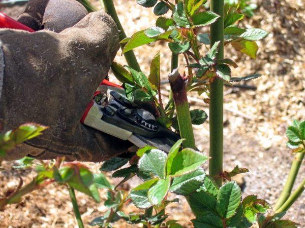 Уход за розами весной. Обрезка, удобрение, посадка. Фото — Ботаничка.ru