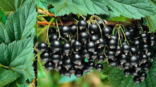 Уход за смородиной: как получить хороший урожай? Правильная обрезка чёрной смородины осенью!