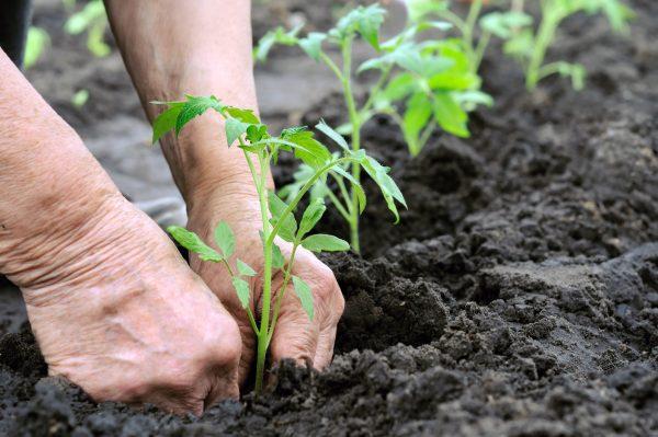 Toward the black soil in planting seedlings 51968 - Business Class People -  Business people