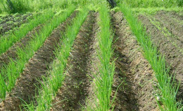 Как правильно посадить лук - выбор и подготовка материала, требования к  грунту и участку, схема, сроки и уход
