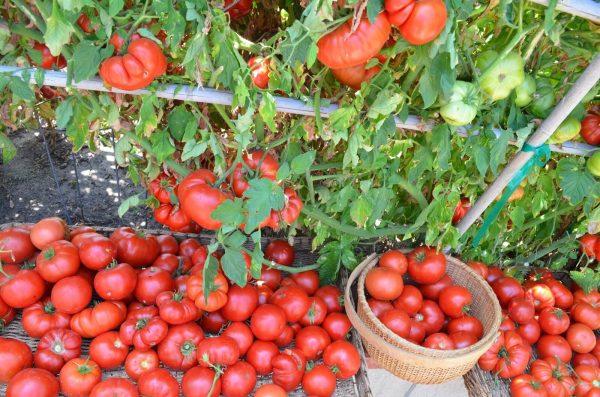 Как добиться хорошего урожая помидор в открытом грунте и теплице