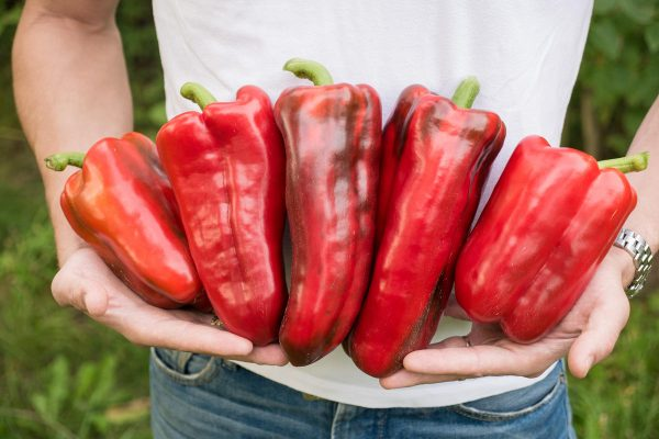 Крутые перцы – пять самых лучших видов из толстостенных гибридов