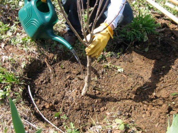Выращивание сливы в саду – все о посадке, поливе, подкормках и обработках |  В саду (Огород.ru)
