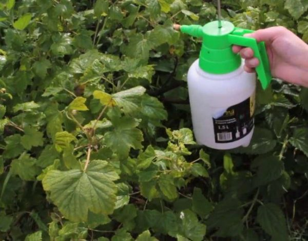 Тля на черной смородине уже есть зеленые плоды: меры борьбы