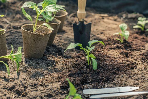 HD wallpaper: pepper, seedling, planting, garden, gardening, green, nature    Wallpaper Flare
