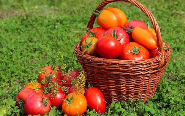 9 секретов хорошего урожая помидоров: советы огородников