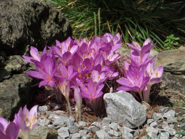 Осенний садовый дизайн! Посадка луковичных цветов под зиму: сроки, правила