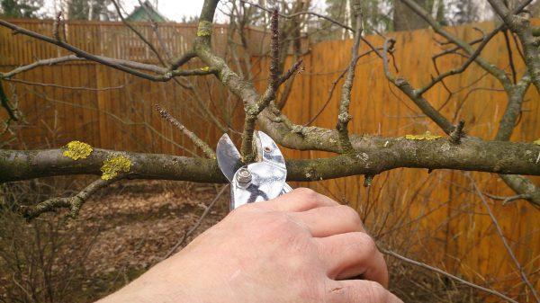 Обрезка плодовых деревьев осенью: когда и как производить. Сроки, видео, фото