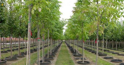 Преимущества покупки саженцев деревьев в питомнике